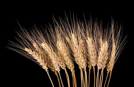 9898483 – bunch of wheat stalks isolated on black